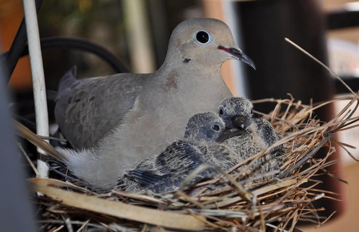 mamma-mourning-dove-with-her-two-squab-jay-milo