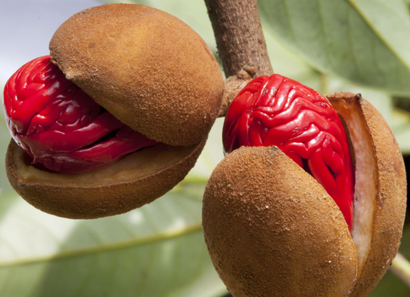 NUTMEG FRUIT OPEN SHOWING MACE COVERED SEED